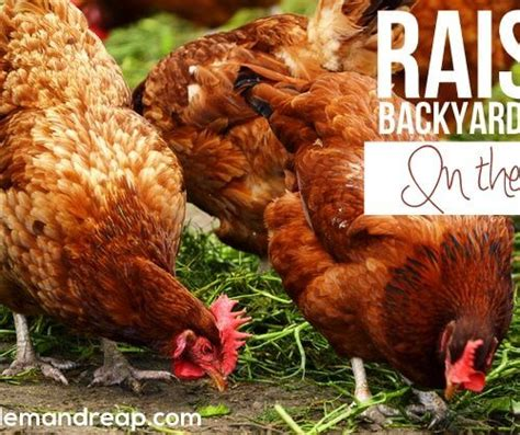Backyard Chickens Cost Chickens Archives Em Reap