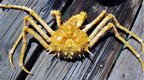 Scp 09 Crabs Pjm king crab 5 3 09 goleta 2