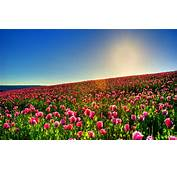 Tulips Wallpapers High Quality  Download Free