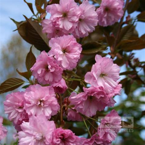 prunus kanzan flowering cherry tree mail order trees
