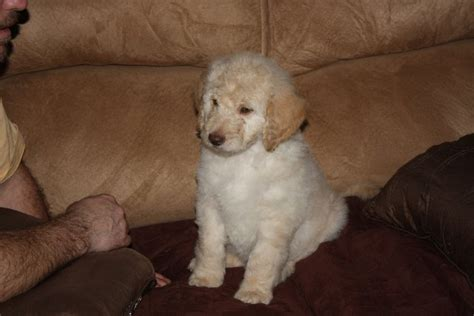 goldendoodle puppy rescue humane society kittens for adoption pets world