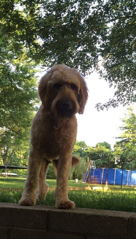 goldendoodle bloomington indiana fields goldendoodle southern indiana home