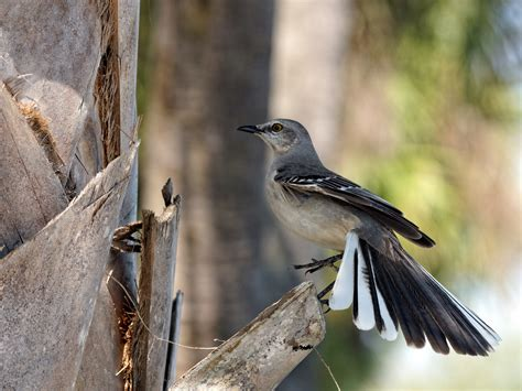 northern mockingbird with tail feathers fanned out flickr
