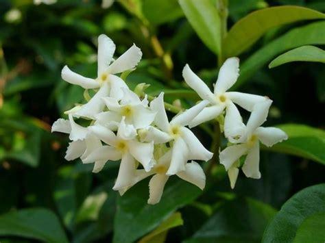 fiore bianco molto profumato siepi profumate siepi caratteristiche delle siepi