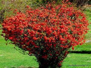 Spring Flowering Bushes - flowering shrubs for early spring in the garden with