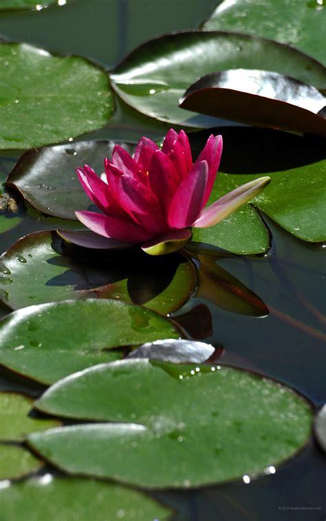 foto fiori hd 1600x2560 fiori sfondi 1600x2560 phablet telefono
