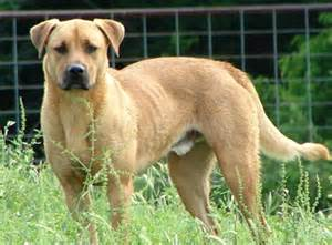 Black mouth cur dog information and reviews learn all about it