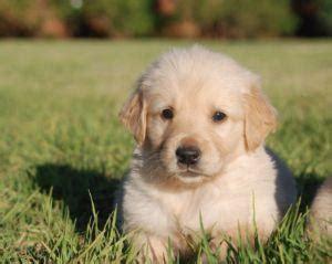 kusa golden retriever puppies sale golden retriever puppies kusa registered harare free classifieds muamat