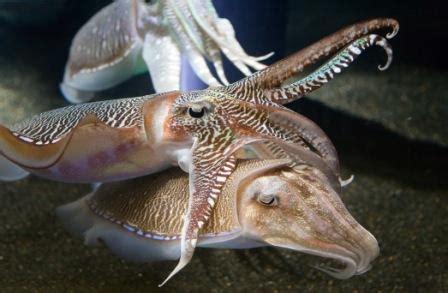Depredadores del calamar » CALAMARPEDIA