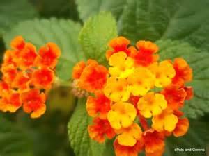 Yellow Color Combination Lantana Camara L Spots And Greens
