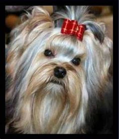 how to groom yorkies 1000 images about yorkie grooming on yorkie yorkie hairstyles and grooms