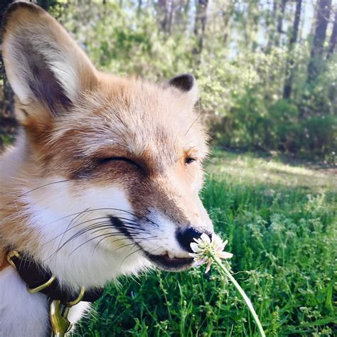 The Foxes juniper the fox is the pet we all want
