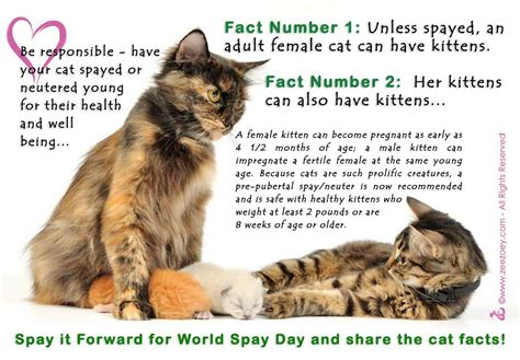 what age to neuter a when should a kitten be spayed or neutered cats kittens