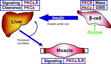t protein liver protein kinase c function in liver and β cells
