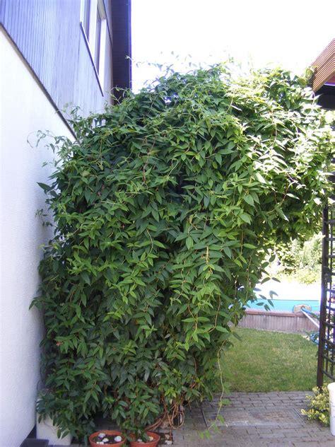 winterharte rankpflanzen ungiftige wintergr 252 ne und winterharte kletterpflanzen