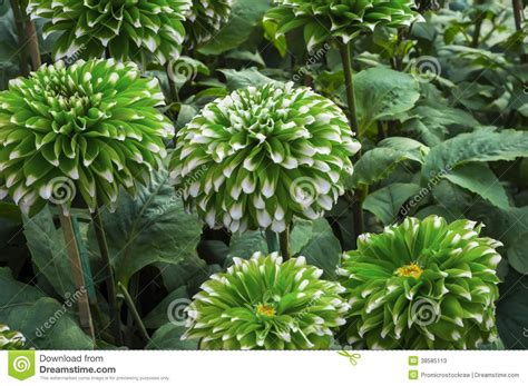 Green Small Dahlia Flowers Stock Image Image Of Pink Green Garden Flowers