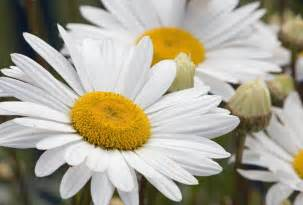 daisy flowers white free stock photo public domain pictures