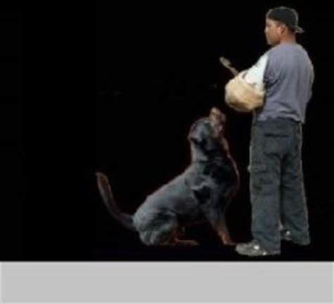 rottweiler rescue san diego german rottweiler puppies san diego ca dogs our friends photo
