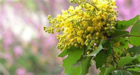 state flowers oregon state flower the oregon grape proflowers blog