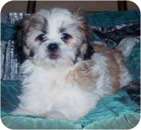 pomeranian mix shih tzu shih tzu pomeranian mix puppies 324 for shih tzu pomeranian mix breeds picture