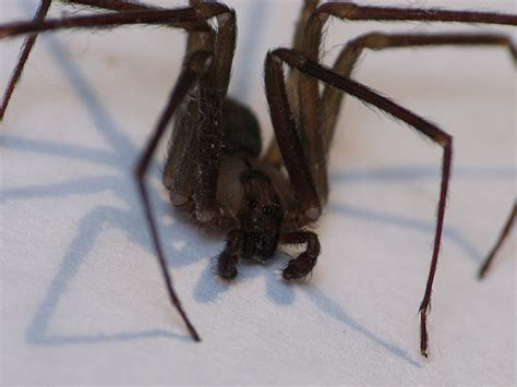 eye pattern of brown recluse brown recluse eyes kind of bad light my kitchen at