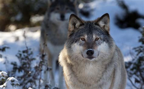 wolf wallpaper pinterest wolf with an image of a wolfe quotes quotesgram wolfs