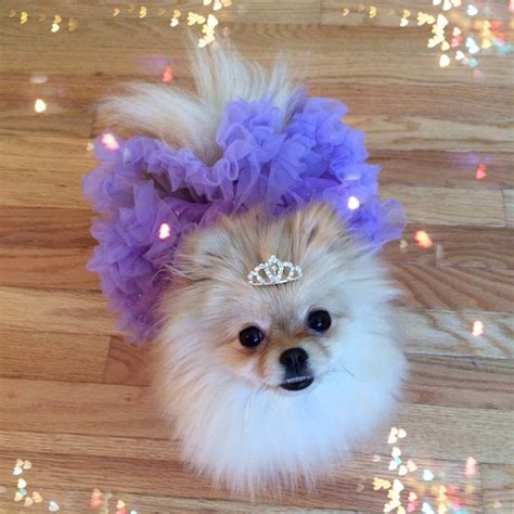 pomeranian accessories small accessory pomeranian princess tiara