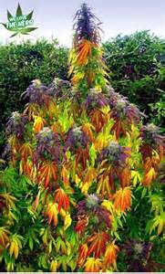 marijuana colors rainbow plant cannabis ness