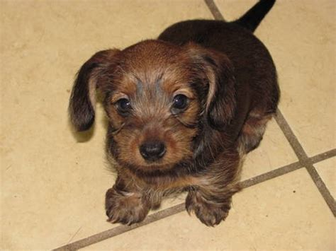yorkie mixed with dachshund dorkie dachshund yorkie mix info temperament puppies pictures