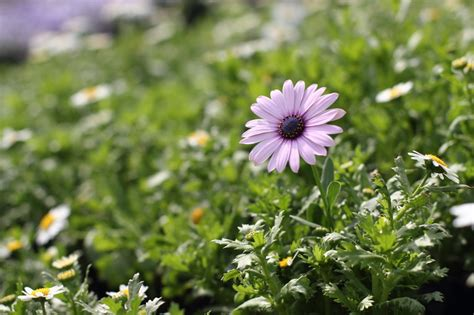Pictures Of Flowers | african daisy picture 23