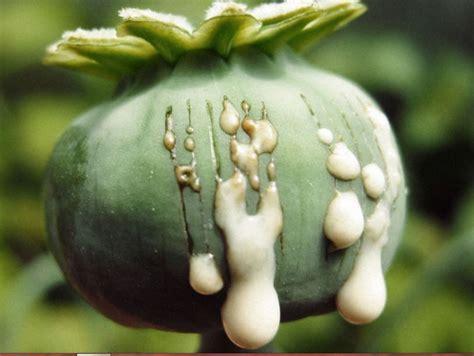 fiore oppio scoperta piantagione di papaveri da oppio nelle cagne