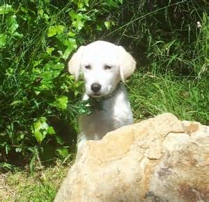 lab puppies for sale in louisiana yellow labs puppies for sale in louisiana