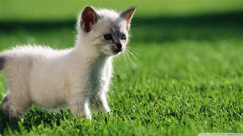 wallpaper cats baby download baby siamese kitten wallpaper 1920x1080