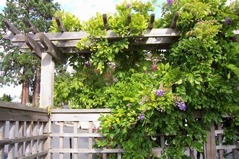 wisteria vine westwood gardens