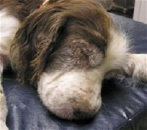 vasculitis in dogs canine ischemic skin disease can result from vaccines