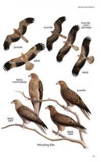 birds of prey of australia a field guide 0643104364
