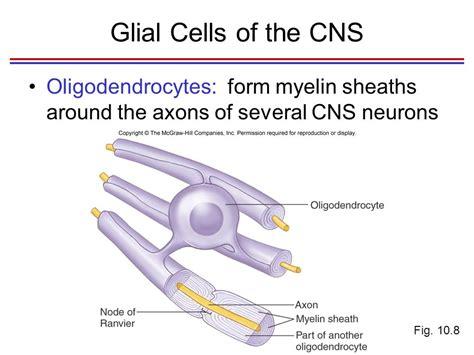 functional organization of nervous tissue ppt