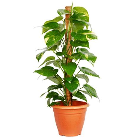 Best Indoor Plants For Oxygen by Ever Wondered Why We Call This Plant As Money Plant