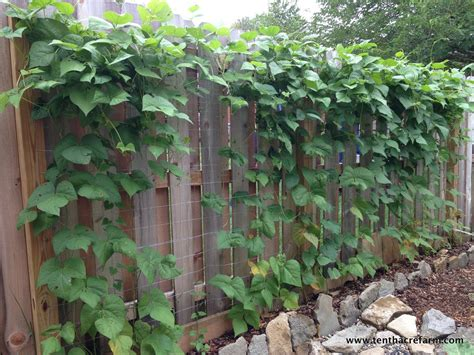 Vegetable Trellis Choose The Right Trellis For Your Climbing Vegetables