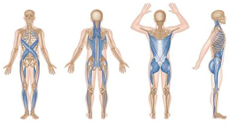 cadenas musculares espiral trigger point therapy myofascial meridians niel asher