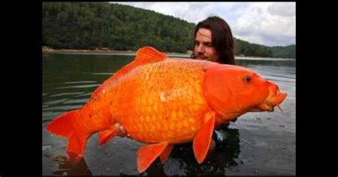 Stelan Gold Fish Kid hfo world record koi gold fish koi kid goldfish and world