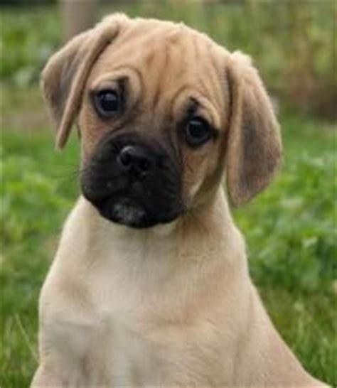 beagle and pug mix for sale 41 best images about want puggle on cutest dogs puppys and sacks