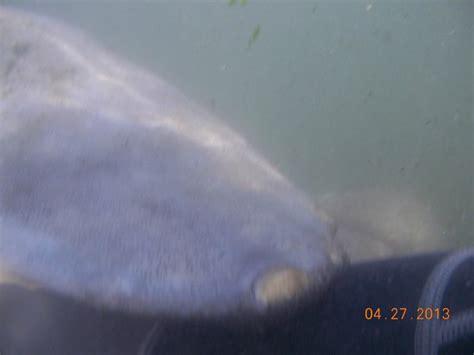 front flipper manatee front flipper bild fr 229 n american pro diving