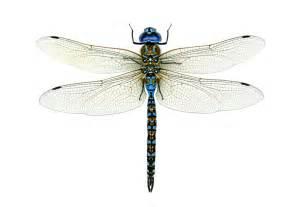 chasing dragonflies and damselflies audubon