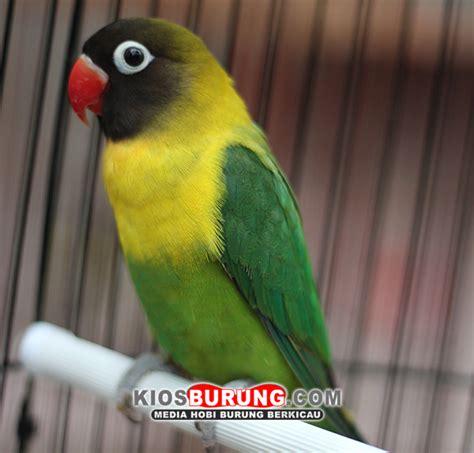 Pakan Burung Ebod Bird Kotak 250 Gram kenapa sih harus dibilang burung cinta kiosburung