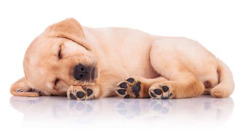 giardia symptoms in dogs giardia in dogs