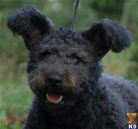 pumi for sale pumi pups for sale 7718
