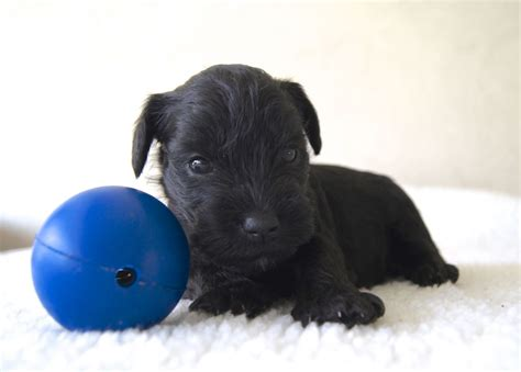 black miniature schnauzer puppies for sale miniature schnauzer puppies for sale uk breeds picture