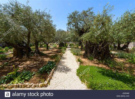 der garten gethsemane alte olivenb 228 ume im garten getsemani am 214 lberg in
