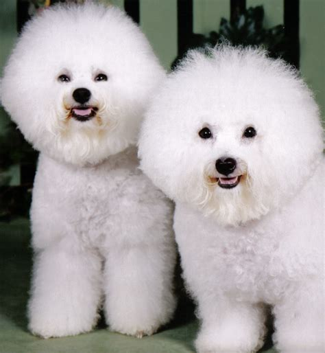 bijon frise such dogs breed of the month bichon frise